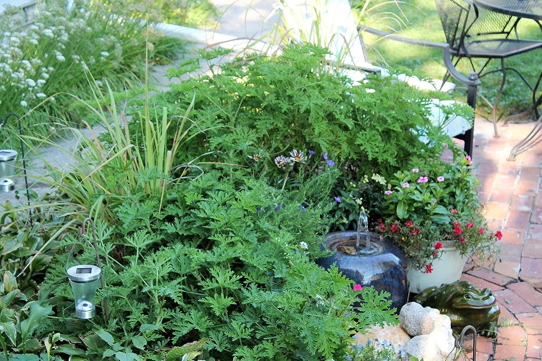 Amazon Com Clovers Garden 2 Large Citronella Mosquito Repellent
