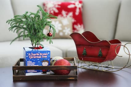 amazoncom costa farms live charlie brown christmas tree norfolk island pine small garden outdoor - Charlie Brown Christmas Decorations