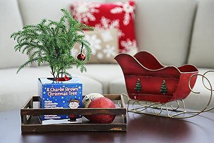 amazoncom costa farms live charlie brown christmas tree norfolk island pine small garden outdoor - Charlie Brown Christmas Decorations