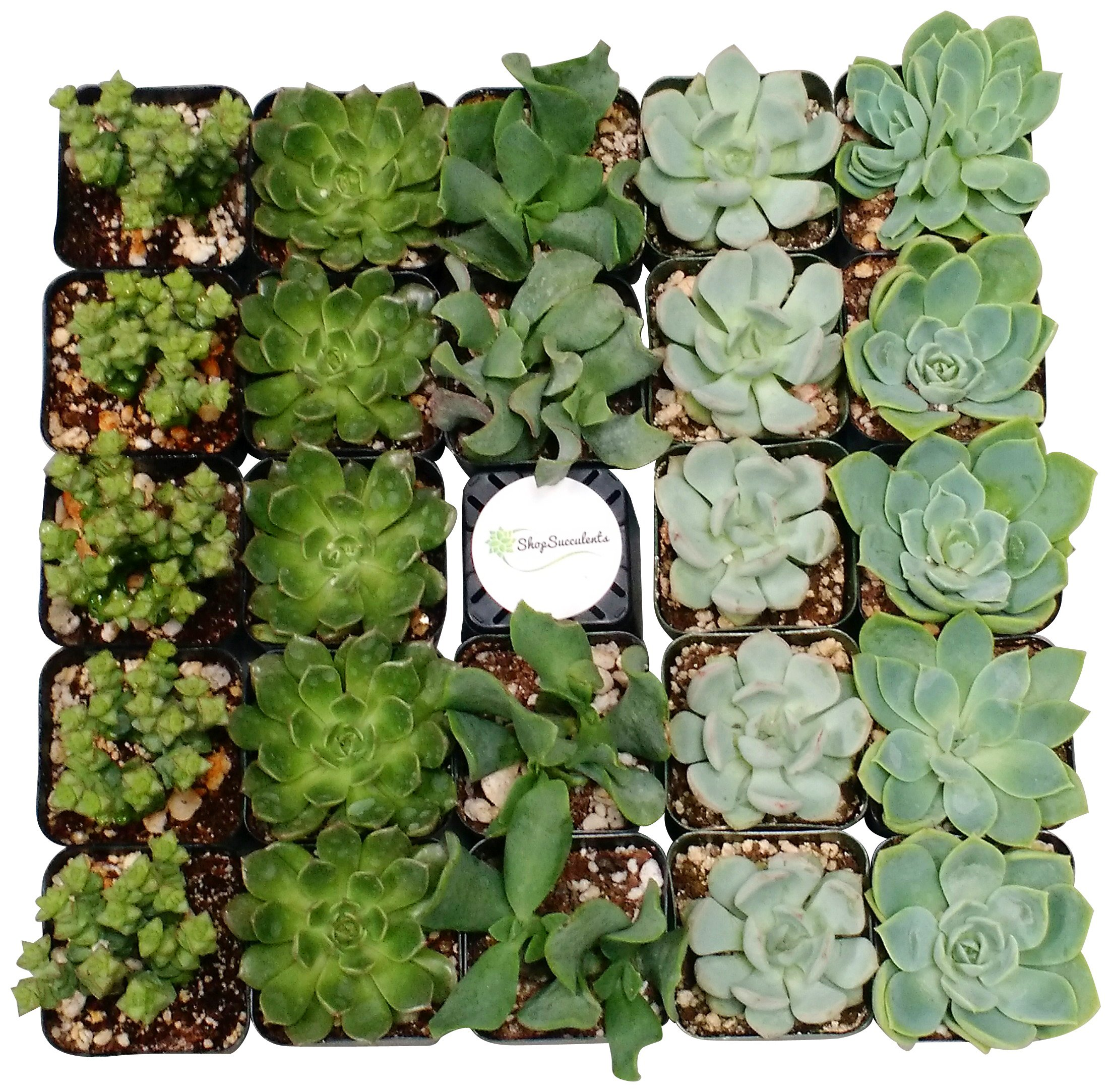 Shop Succulents Green Succulent (Collection of 140)