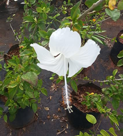 Buy Online White Colour Hibiscus Or Chembaruthi Or गडहल Or