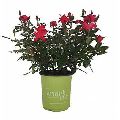Star Roses Knockout Series 15048 Knockout Rose, 19cm, Red : Garden & Outdoor