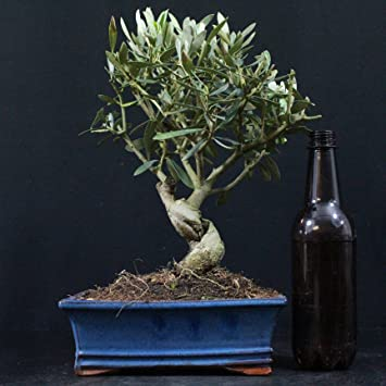 Olivenbaum, Olea europaea, Indoor-Bonsai, 10 Jahre, 28 cm Höhe ...