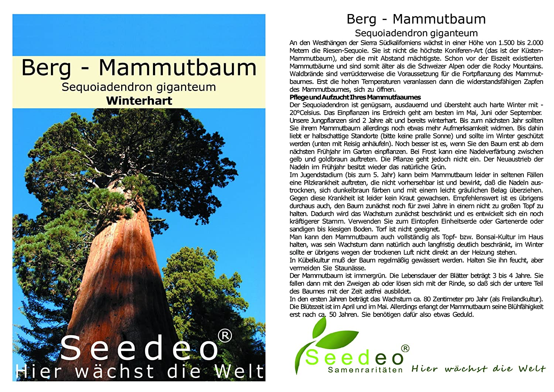 Seedeo Berg Sequoia. gigantea Pflanze 2 Jahre Mammutbaum
