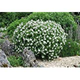 Plant in 9 cm Pot Adiantum raddianum Fragrans Maidenhair Fern