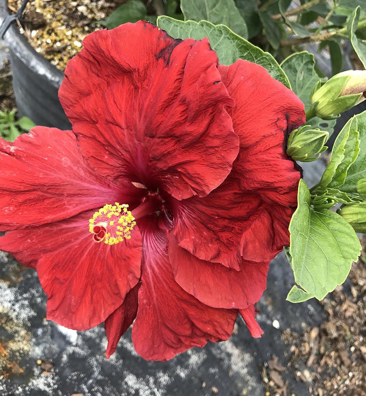 Amazon exotic hibiscus red ruby red flowers live plant amazon exotic hibiscus red ruby red flowers live plant garden outdoor izmirmasajfo