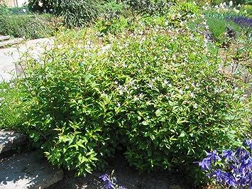 Dreiblattspiere Gillenia Trifoliata Im 9cm Topf Amazonde Garten