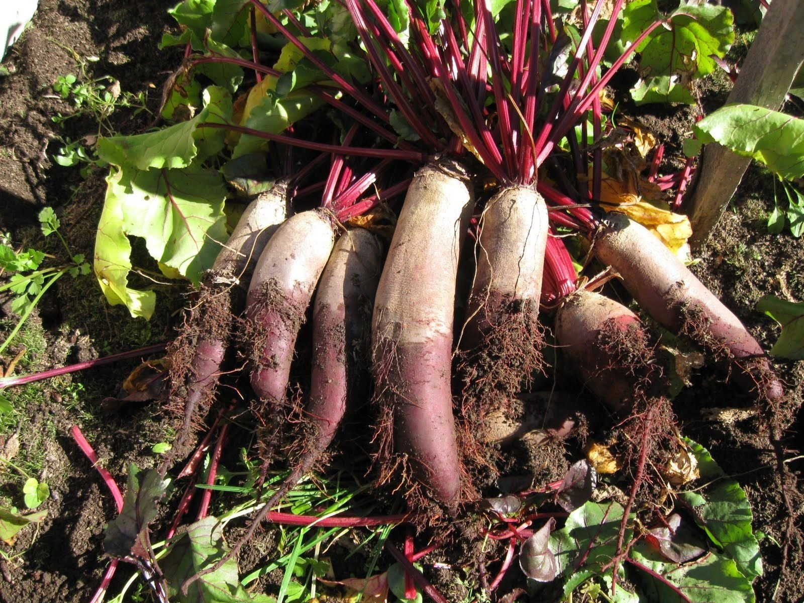 Giant Beet Red Mangle Mammoth Seeds (48K or 2 lb Seeds)