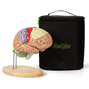 Human Brain Model (Numbered) with Carrying Case – 2X Life-Size Anatomy Model by Geekidoc