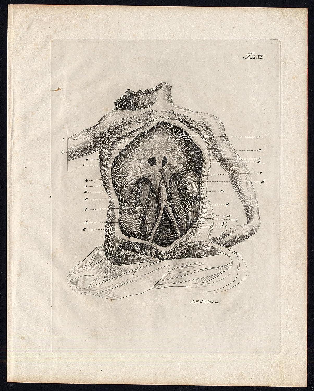 Amazon.de: Antiker Druck von menschlichen Anatomie-MYOLOGY-Muskeln ...