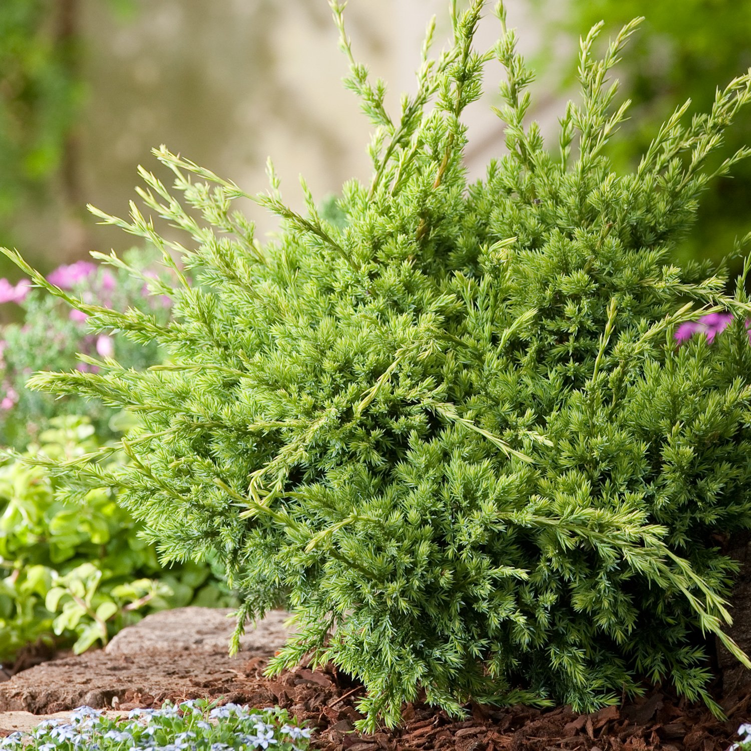 3 PACK (9cm Pots) Dwarf ConiferJuniperus Squamata Holger (Blue carpet) Ground Covering, Yellow Evergreen Foilage B&R Direct (UK) Ltd