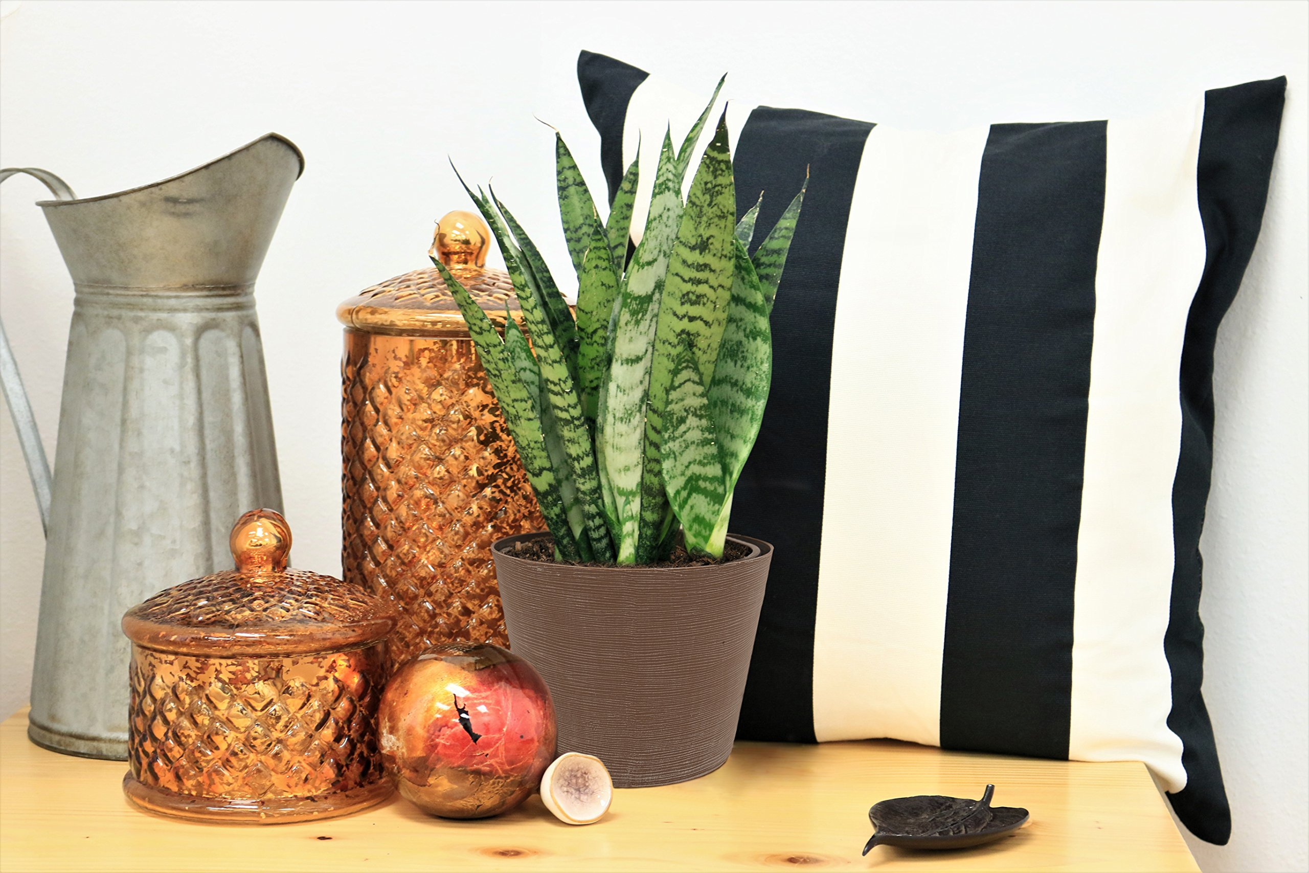Costa Farms Snake Plant, Sansevieria, 12-Inches Tall, Easy-Care, Ships in Grow Pot, Fresh From Our Farm by Costa Farms (Image #2)