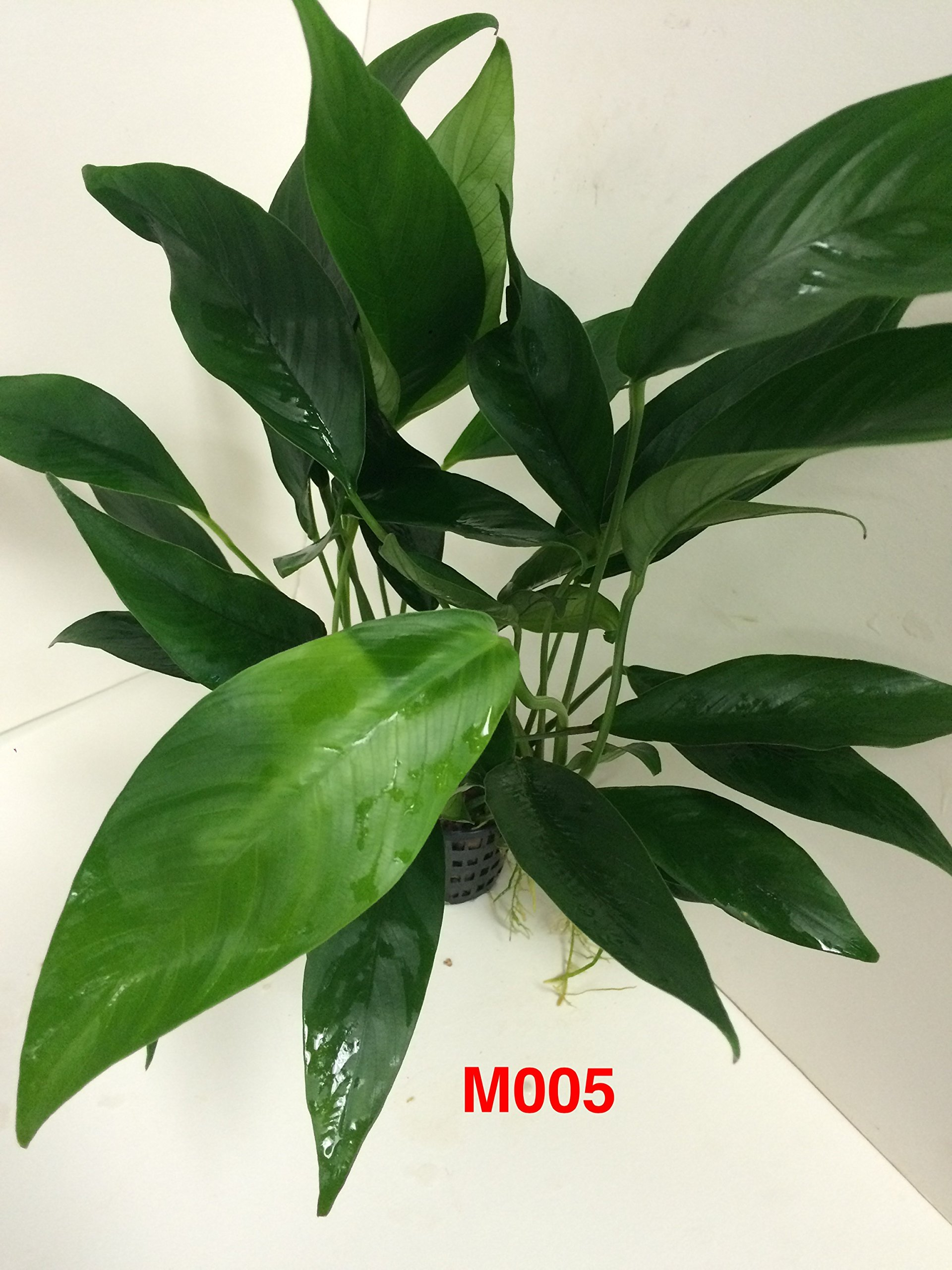 Anubias congensis Mother Pot Plant M005 Live Aquatic Plant by Jayco (Image #2)