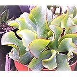 CRASSULA ARBORESENS SUBSP. UNDULATA Unusual Jade Plant/Money Plant Great HOUSEPLANT in 7CM Pot