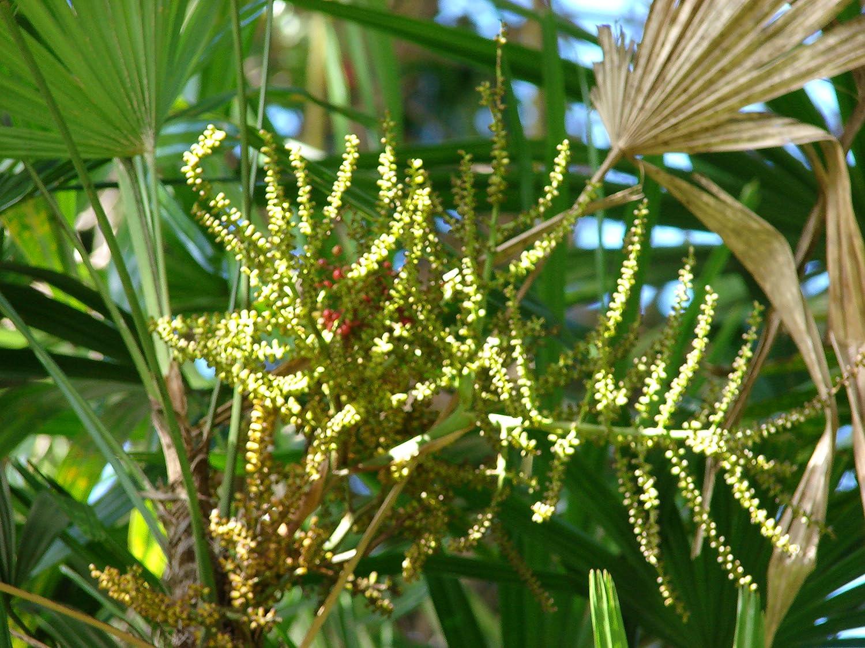10 Miela de semințe de palmier Badif Bush SE / ñora Rhapis Excessa Indoor Plante