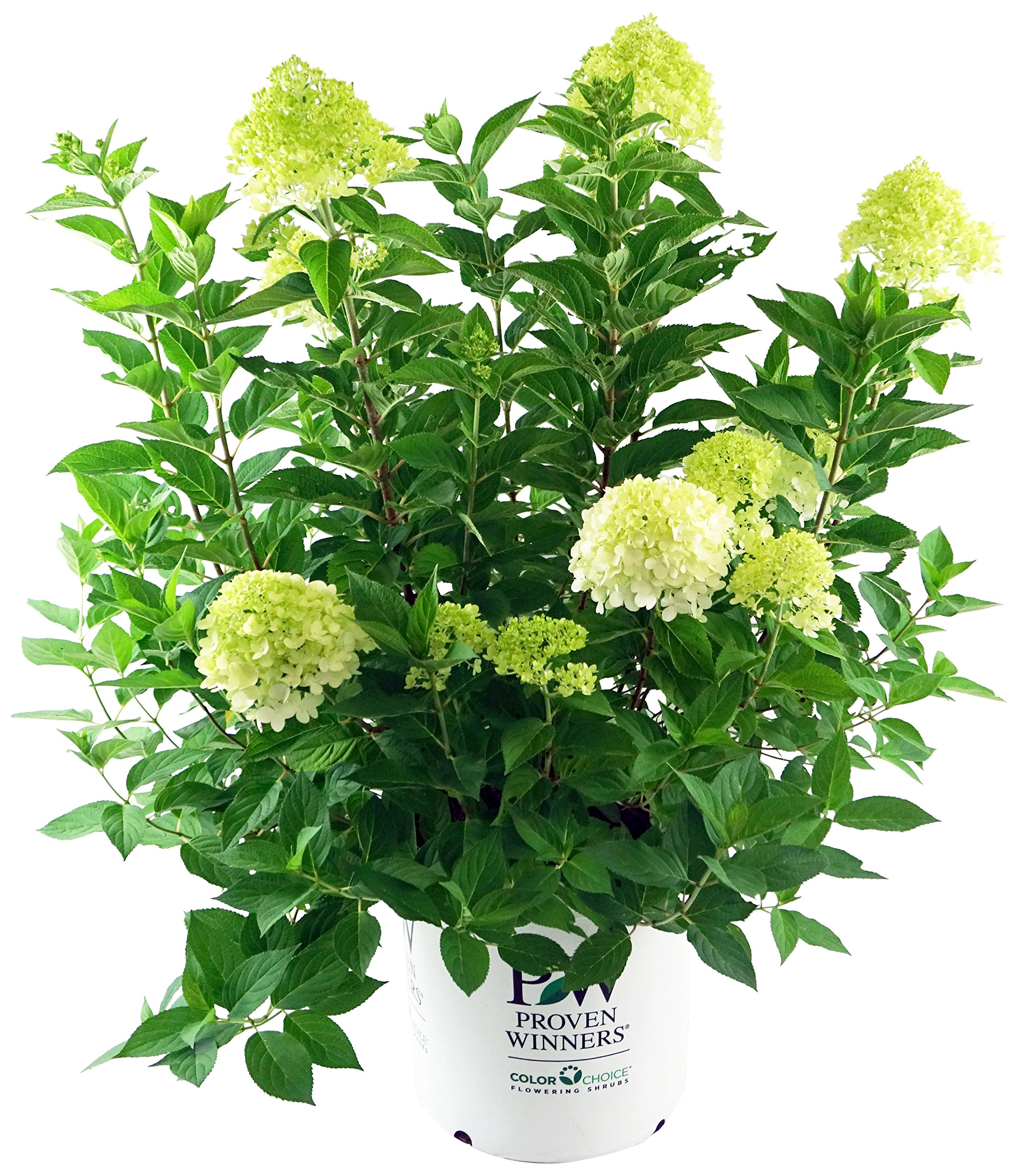 Proven Winners - Hydrangea pan. 'Limelight' (Panicle Hydrangea) Shrub, white/lime to pink flowers, #3 - Size Container