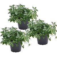 unsere-gaertnerei 3er Set Kraut der Unsterblichkeit (Jiaogulan) 12cm Topf Pflanze, grün, 30 x 20 x 20 cm