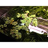 6 Red Root Floater (Phyllanthus Fluitans), Live Aquarium/Aquatic/Floating/ Pond/Beginner Plant, Aquascaping,planted tank ...