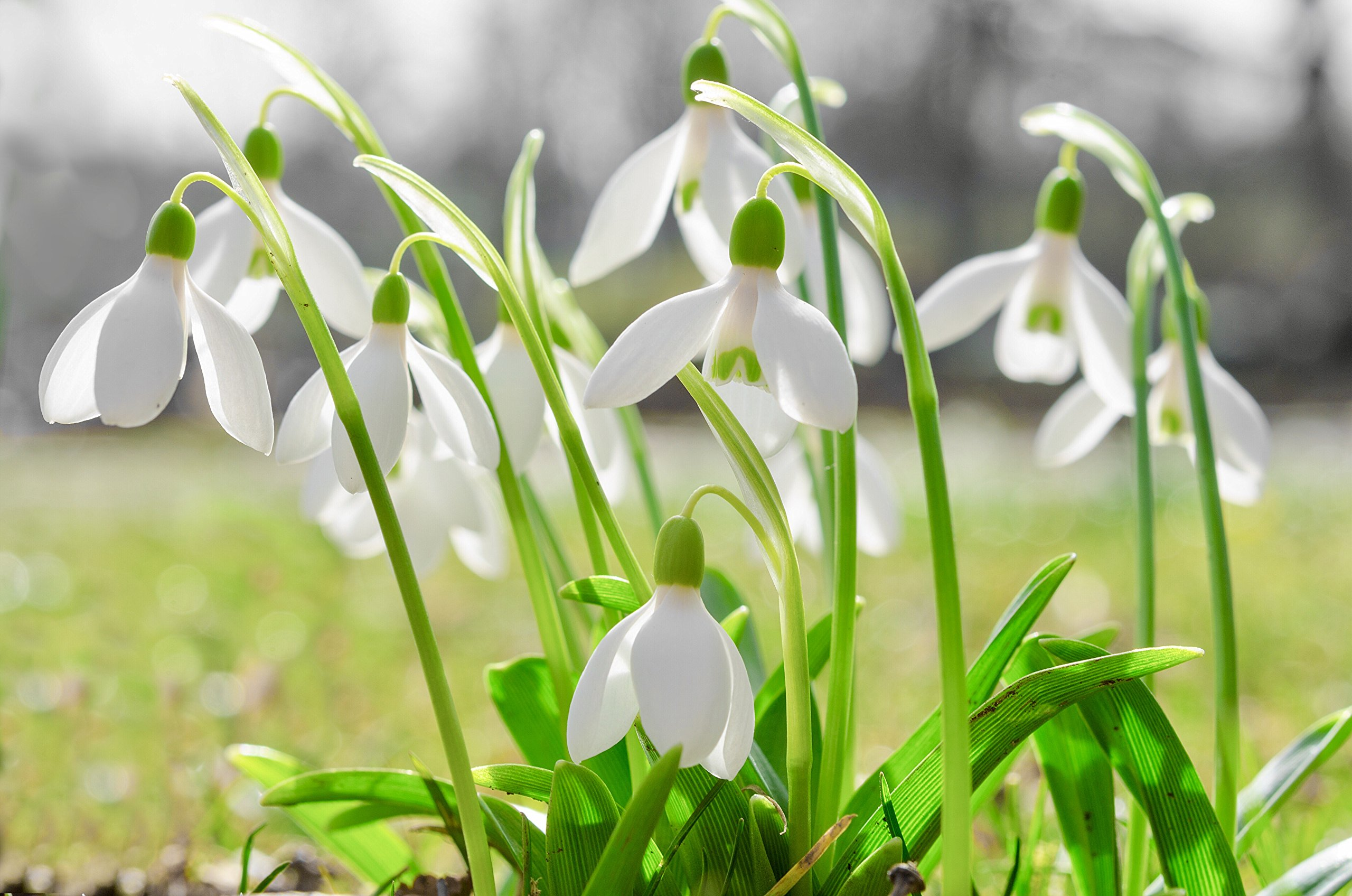 Woodland bulbs® 50 x Single Snowdrops Bulbs - IN THE GREEN Flowering Size Bulbs (Galanthus Nivalis) Plant With Bluebells & Aconites - FREE UK P&P ®