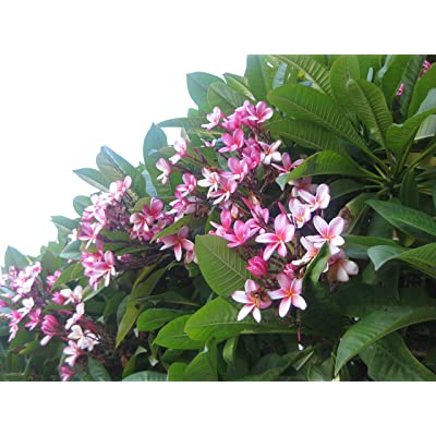 Hawaiian Pink Plumeria Frangipani 1 Cutting DL9 : Garden & Outdoor