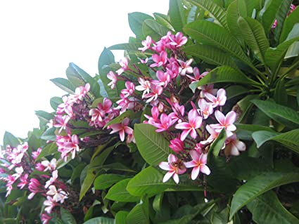 VERY RARE PLUMERIA CUTTING 8-12 INCH LOOKS GREAT AND SMELLS GREAT