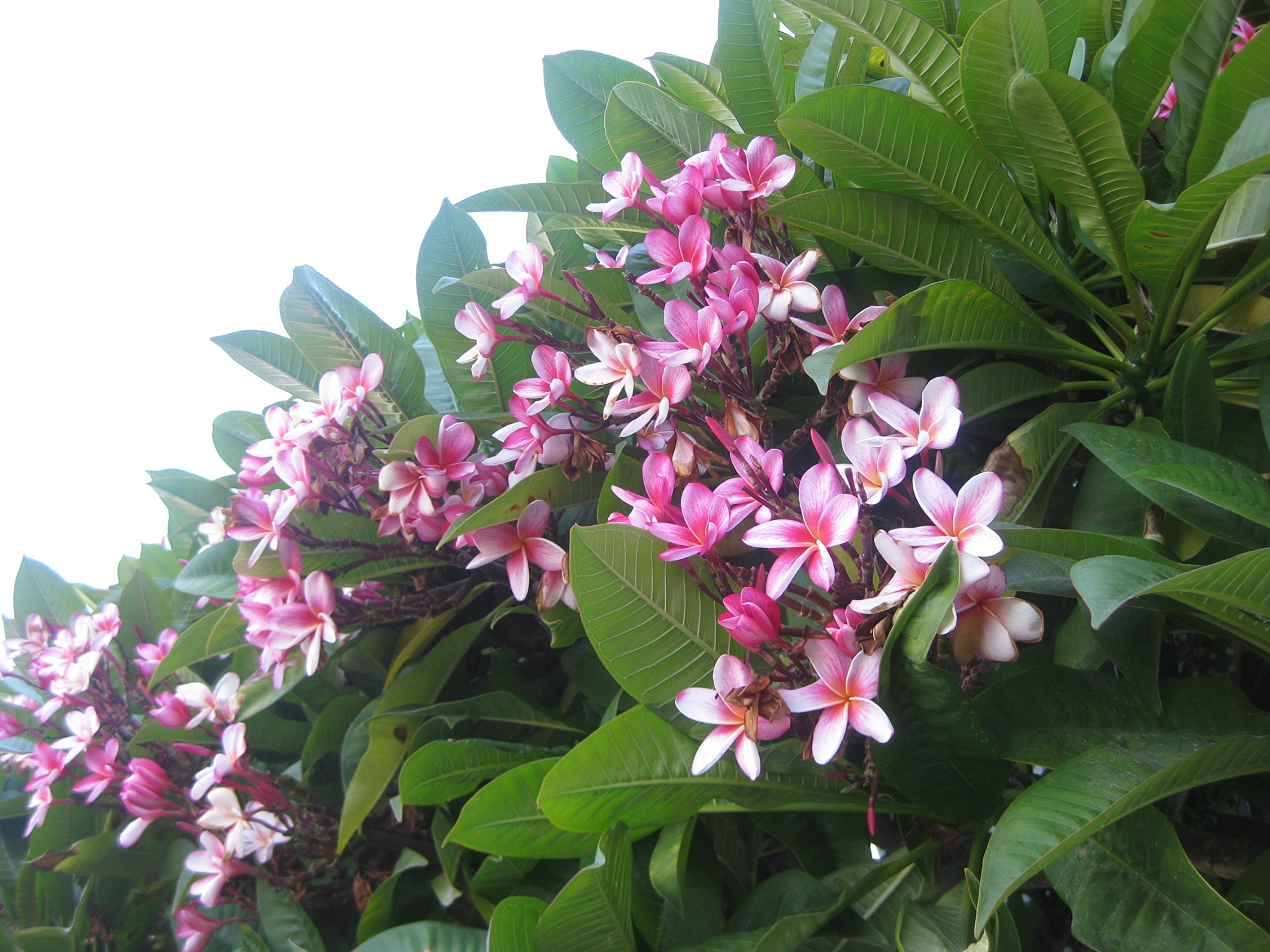 Pink Plumeria Cuttings Hawaiian 2 Pack, Apx. 9 - 12 inches long