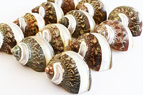 "12 Large Banded Tapestry Turbo Shells (2"" - 2 1/2"" /"