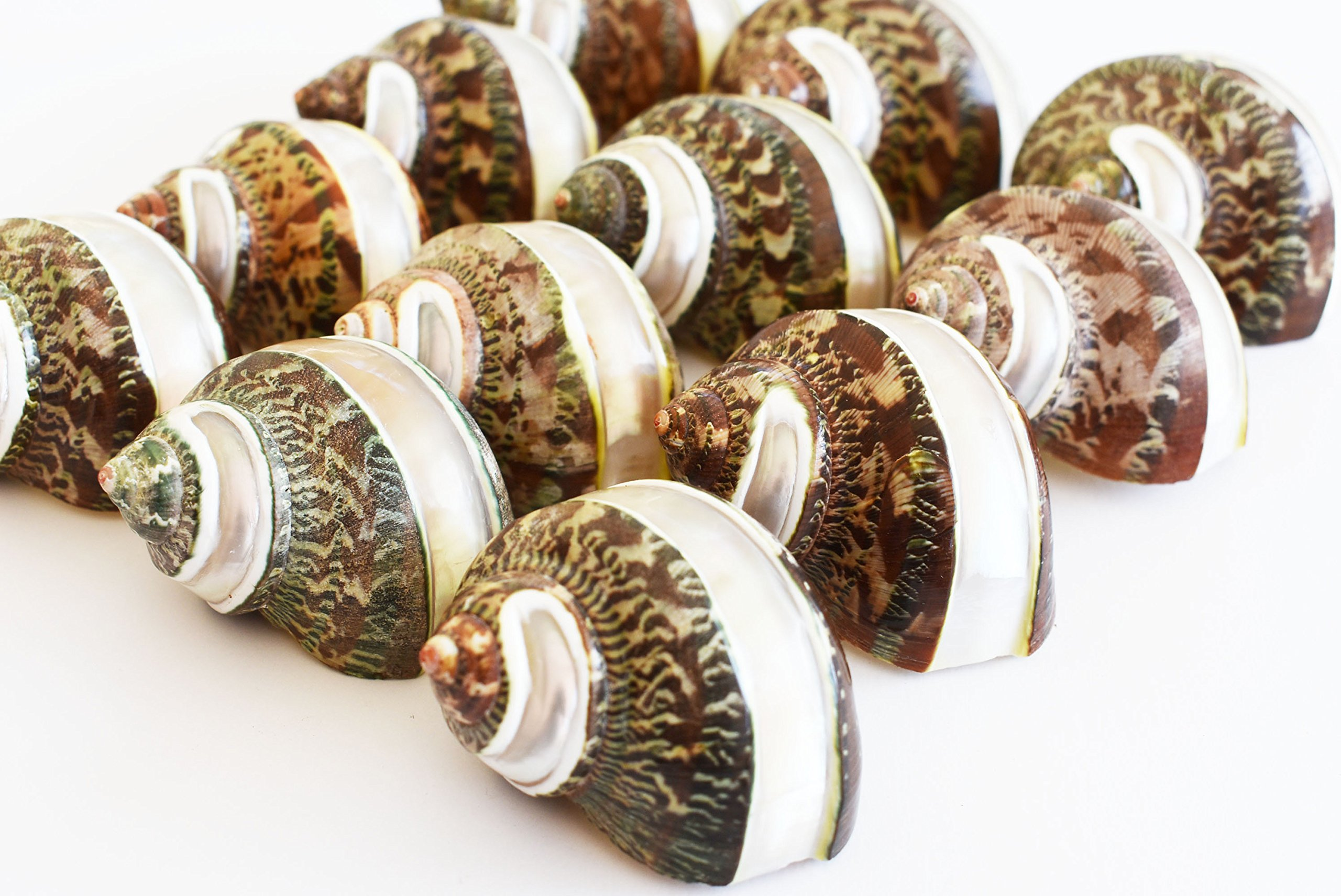 12 Large Banded Tapestry Turbo Shells (2'' - 2 1/2''/opening size about 1''- 1 1/4'') Polished Seashells Beach Craft Hermit Crabs Nautical Decor
