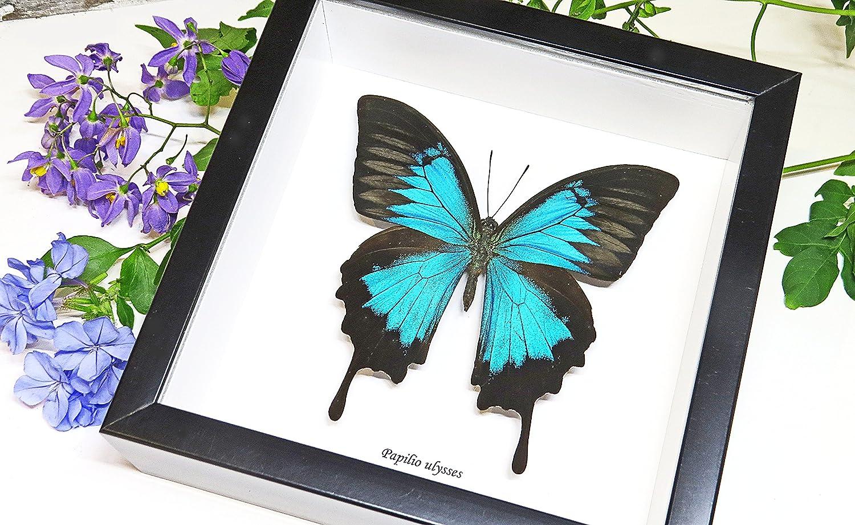 Amazon.de: Bits\'nBugs Schmetterling gerahmt, Papilio Ulysses, blau ...