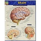 Brain (Quick Study Academic)