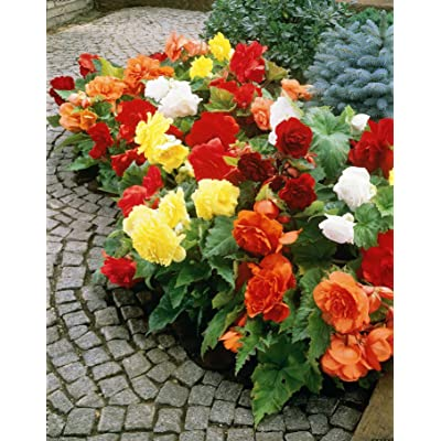Mixed Double Begonia Bulbs Value Bag - 5 Bulbs per Package. : Garden & Outdoor