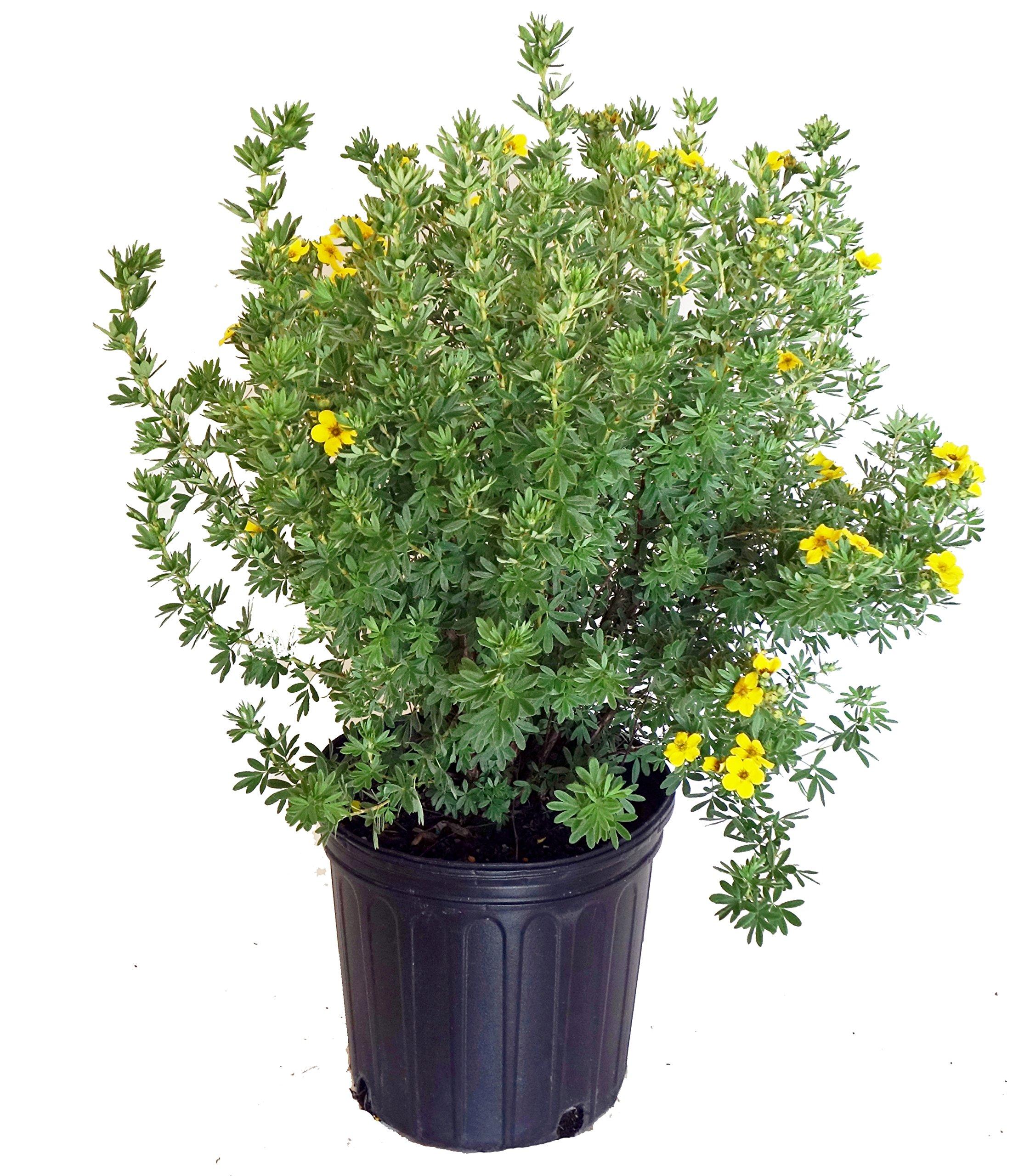 Potentilla frut. 'Gold Finger' (Cinquefoil) Shrub, bright yellow flowers, #3 - Size Container