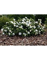 1 PIANTA DI GARDENIA RADICANS RADICANTE IN VASO 16CM esterno fiori profumati