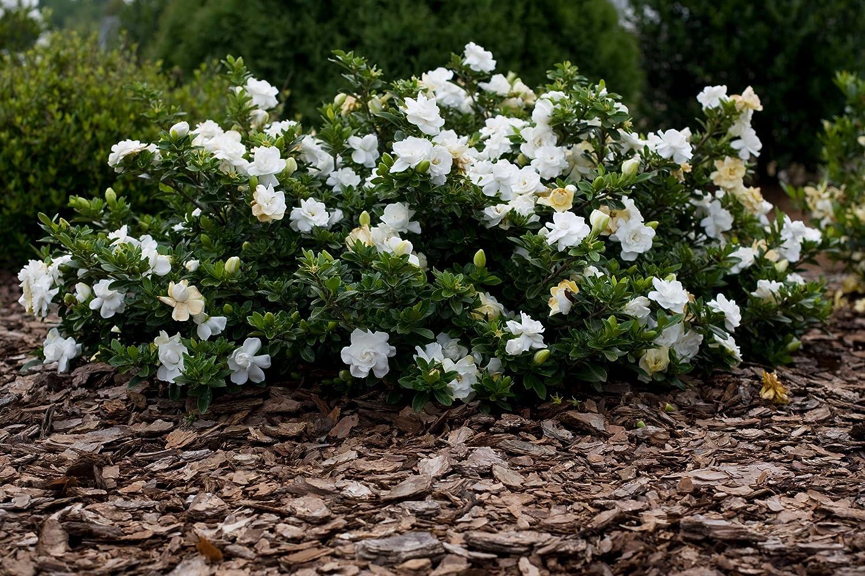Fiori Bianchi Profumatissimi.1 Pianta Di Gardenia Radicans Radicante In Vaso 16cm Esterno Fiori