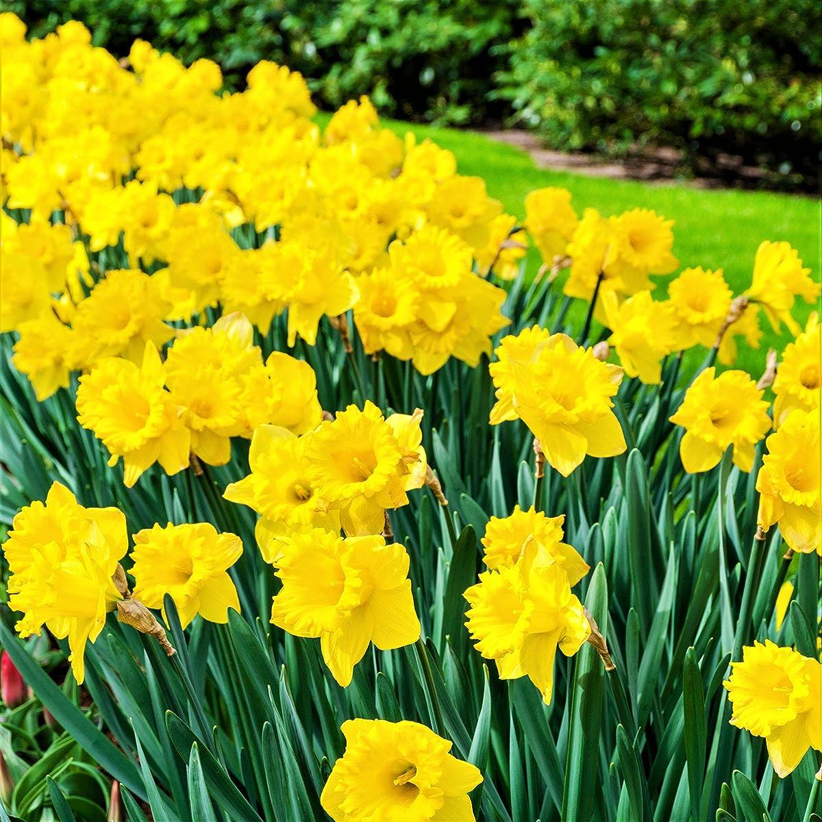 Dutch Master Daffodil 20 Bulbs - King Alfred Improved - 14/16 cm Bulbs