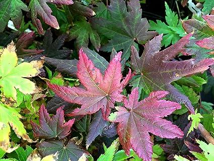 Amazoncom Burgundy Jewel Dwarf Oregon Vine Maple A Dwarf Peurple