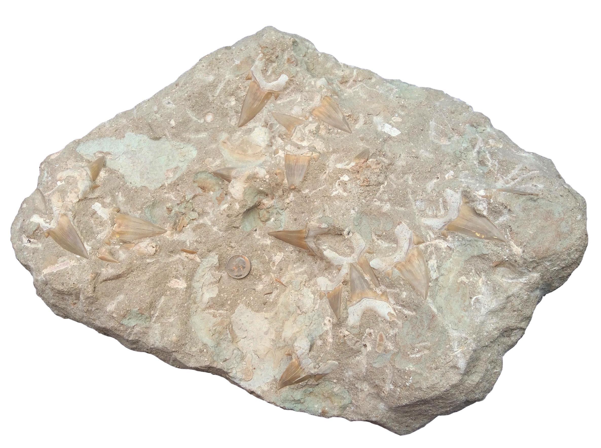 Huge Lamna Obliqua Fossil Shark Tooth Plate