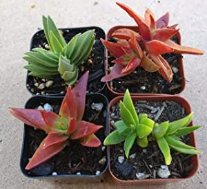 Crassula Capitella Red Pagoda Shark Tooth Plant Colorful Succulent (2 inch Bare Root)