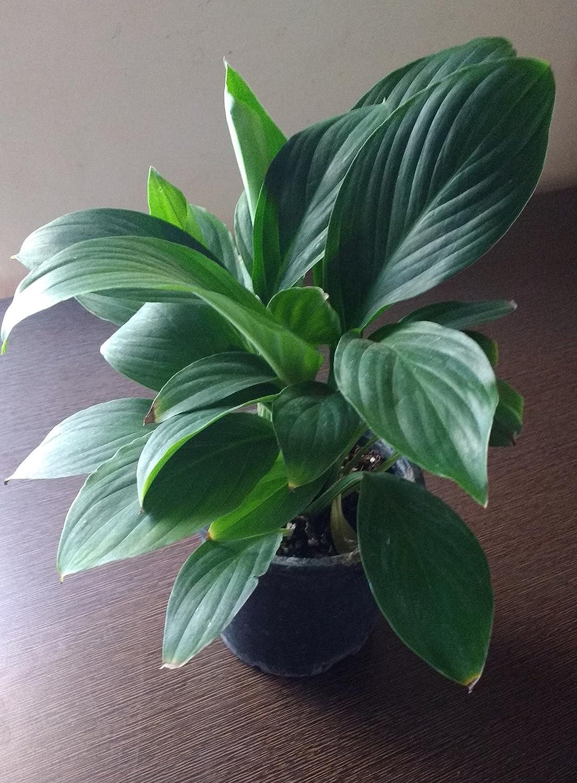 Plantsguru Peace Lily Spathiphyllum Live Plant Amazon Garden