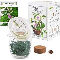 GROW2GO Mimosa Pudica Starter Kit de cultivo - Mini Invernadero, semillas de Mimosa y juego de plantación de tierra…