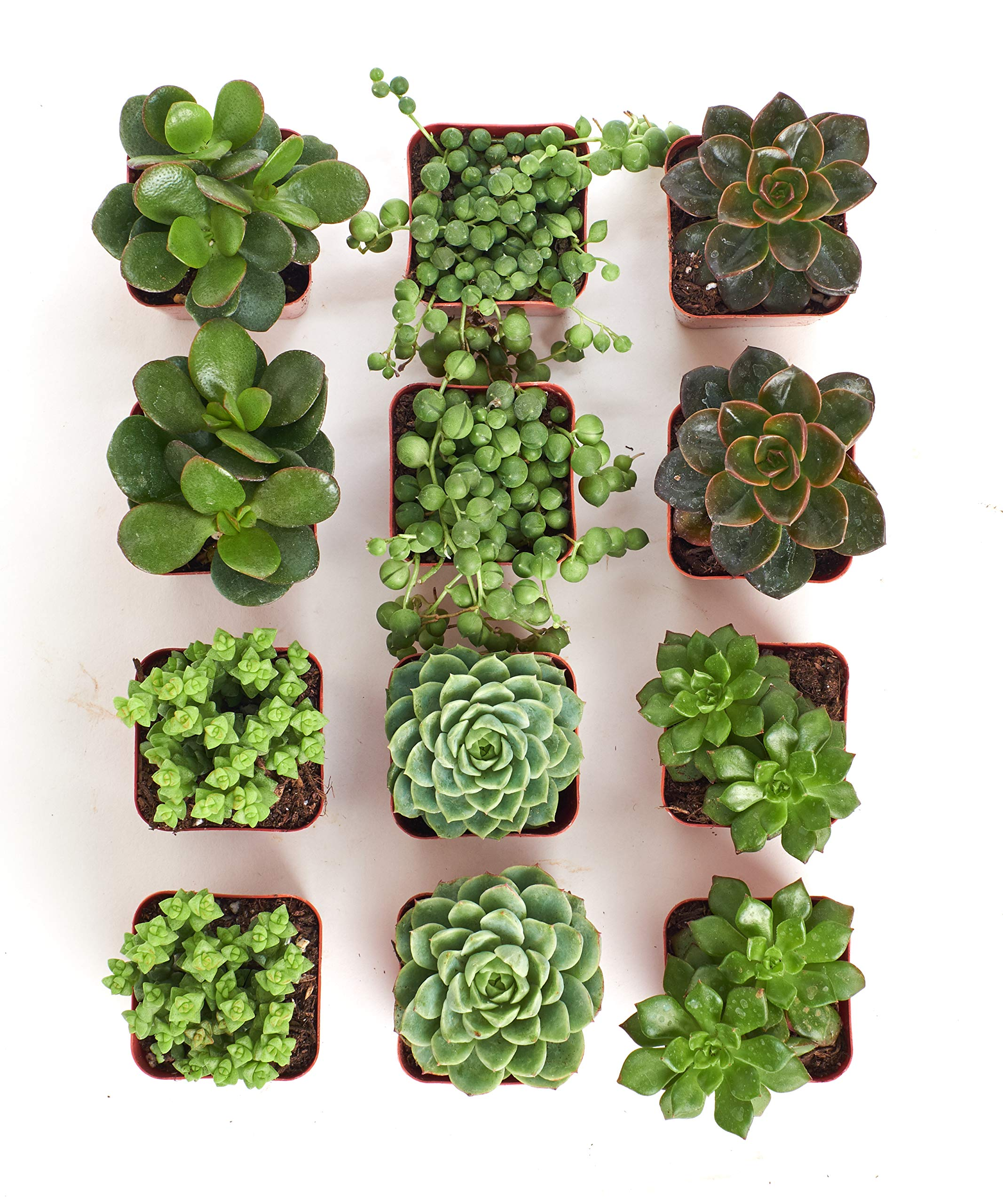 Shop Succulents | Green Live Plants, Hand Selected Variety Pack of Mini Succulents | | Collection of 12 in 2'' pots, Pack of 12 by Shop Succulents (Image #3)