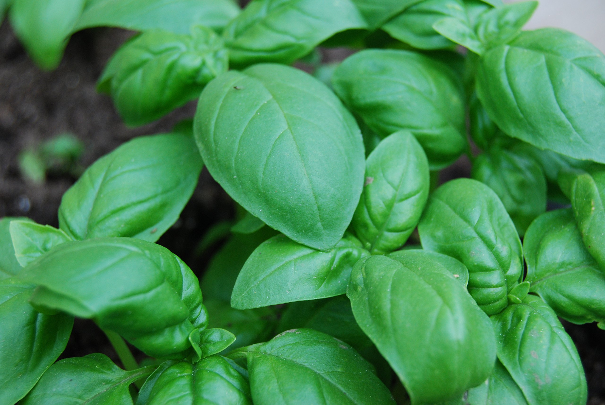Clovers Garden Sweet Basil Herb Plant- Non GMO- Two (2) Live Plants - Not Seeds -Each 4''-7''tall- in 3.5 Inch Pots