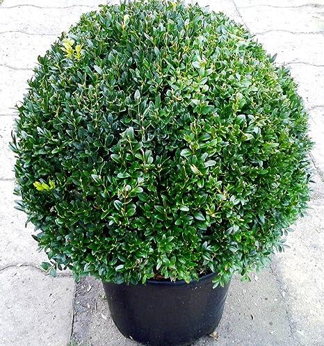 cm Kugel Bux Buxus Buxkugel Buxbaum 50