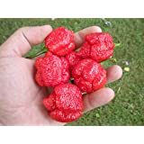 Trinidad Scorpion Moruga 20 Seeds by Pepper Gardeners
