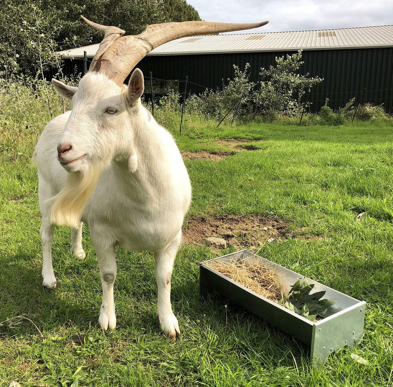 Convient pour 1 /à 2 animaux | moutons et plus 600 mm de large Mangeoire galvanis/ée pour ch/èvres