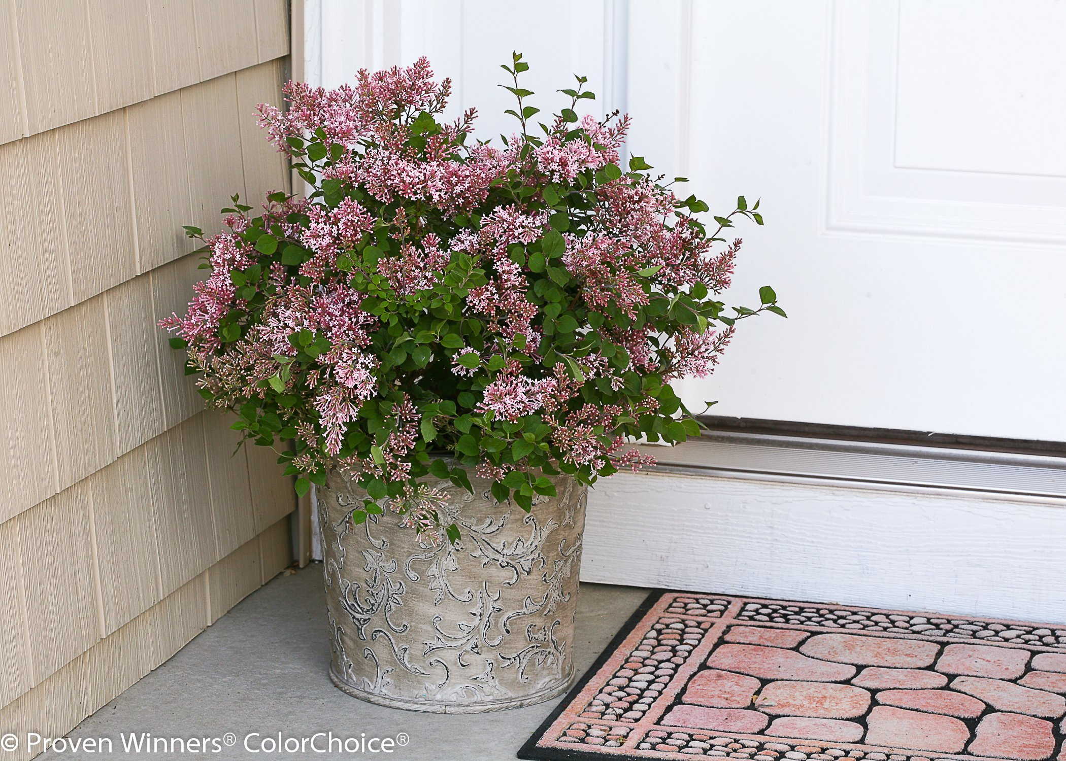 Proven Winners - Syringa x Bloomerang 'Pink Perfume' (Reblooming Lilac) Shrub, pink flowers, #2 - Size Container by Green Promise Farms (Image #1)