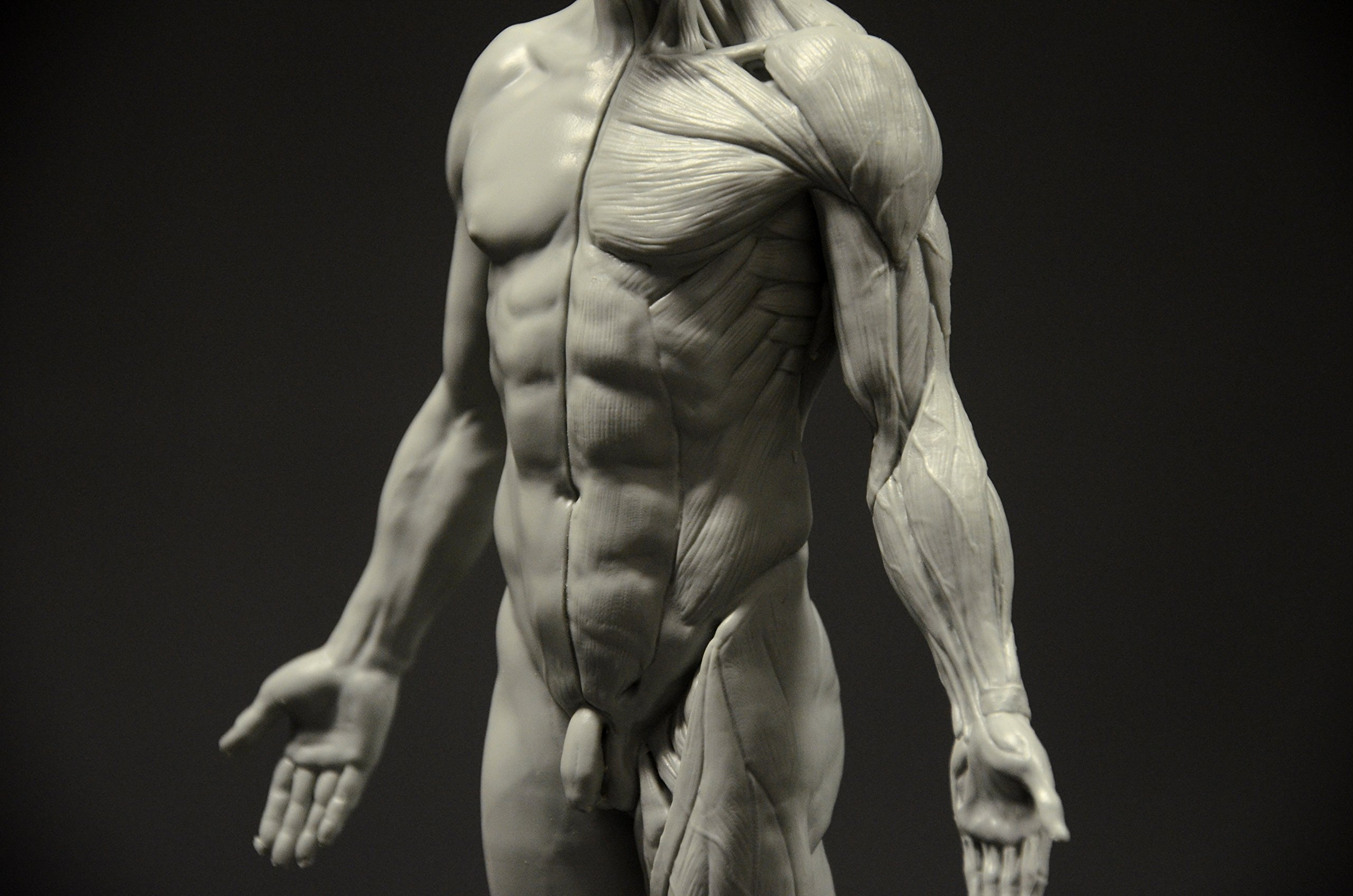 Male Anatomy Figure 11 Inch Anatomical Reference For Artists Grey