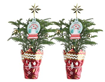 costa farms live christmas tree 12 inches tall decorated with christmas gift wrap