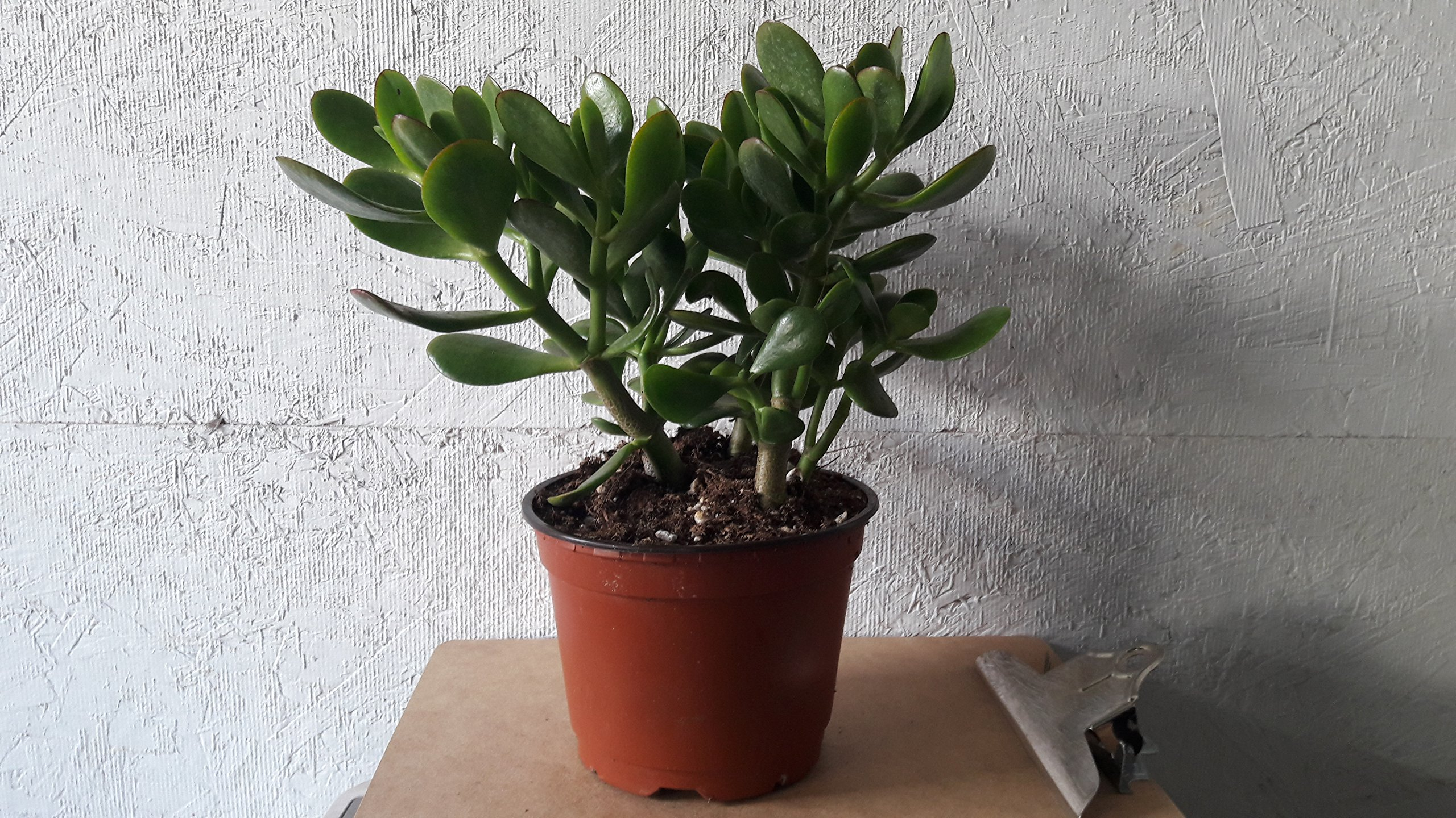 Jade Plant - Crassula ovuta - Easy to Grow - 6'' Pot from jmbamboo