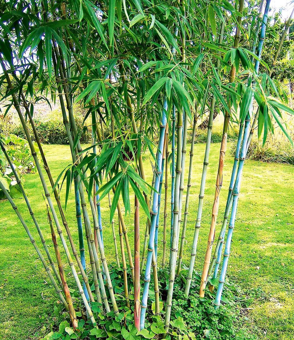 Qulista Samenhaus 50pcs Raritaten Goldener Peking Bambus Rot Blau